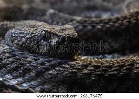 Southwestern Speckled Rattlesnake - Crotalus mitchellii pyrrhus macro curled up ready to strike - stock photo
