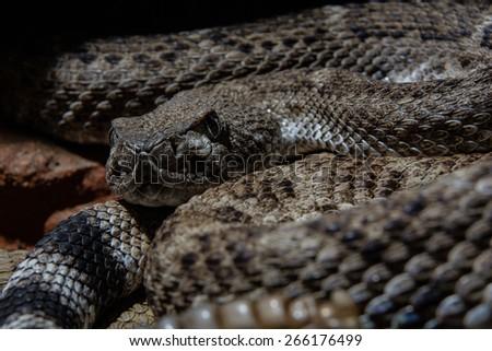 Southwestern Speckled Rattlesnake - Crotalus mitchellii pyrrhus ready to ambush - stock photo