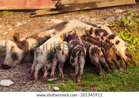 sow feeds her piglets lying on a straw - stock photo