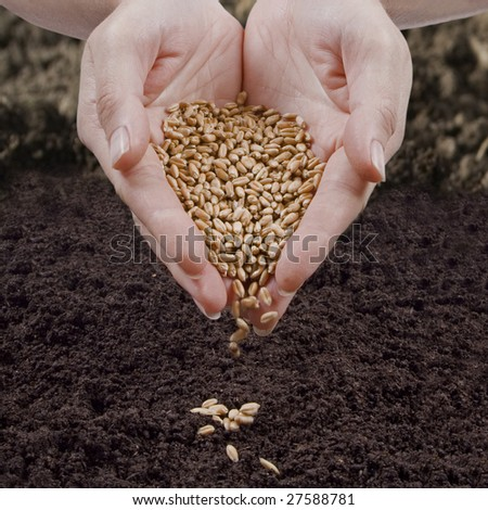 sow wheat - stock photo