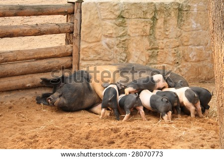 Sow with seven piglets - stock photo