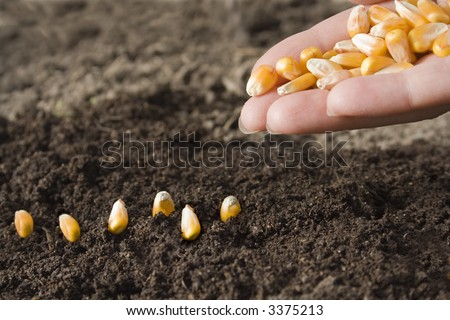sowing maize - stock photo
