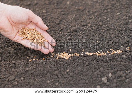 Sowing of wheat in the ground. - stock photo