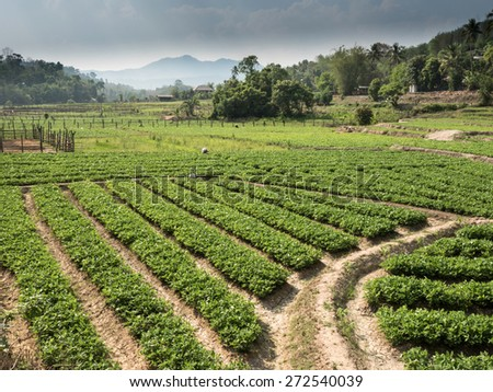 Soy Bean Field in Mae Sap, Northern Thailand - stock photo