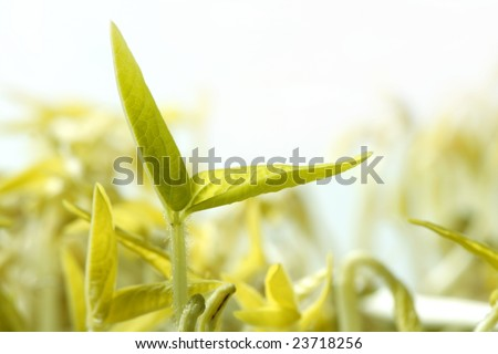 Soy bean outbreak. Life growing from seed, embryo - stock photo