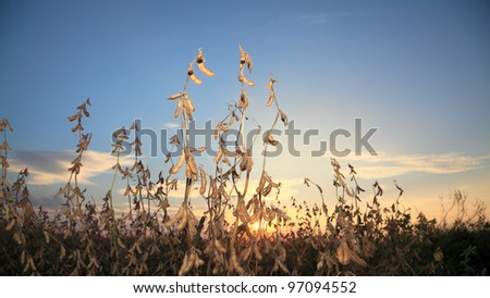 Soy bean plant ready to harvest in sunset - stock photo