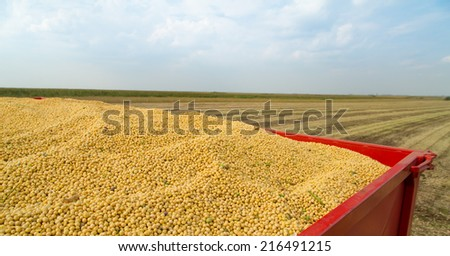 Soy beans in tractor trailer just harvested - stock photo
