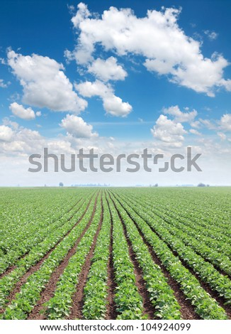 Soy field in spring with beautiful blue sky and white fluffy clouds - stock photo