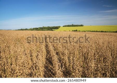 Soy fields in autumn  - stock photo