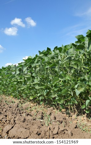 Soy plant in spring with  blue sky and white fluffy clouds - stock photo