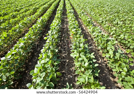 soya - stock photo