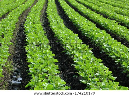 Soya bean field - stock photo