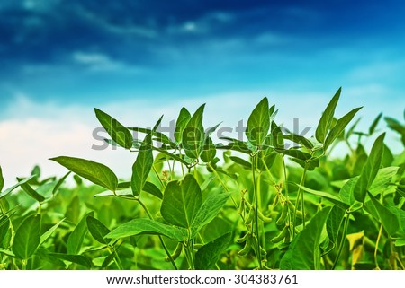 Soybean crops in field, soya bean growing on plantation, blue sky in background, selective focus. - stock photo