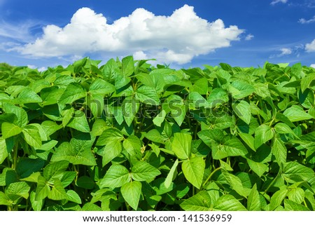 Soybean field - stock photo