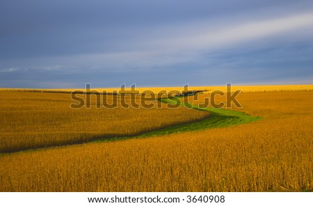 Soybean field during the lit almost orange during sunset, with background of blue sky and some clouds. - stock photo