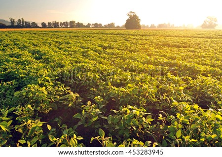 Soybean field in early morning light - stock photo
