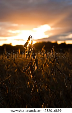 Soybean field ready for harvest against the sunset - stock photo