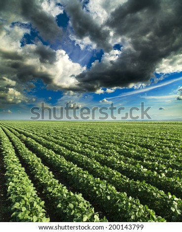 Soybean field ripening at spring season, agricultural landscape - stock photo