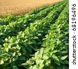 Soybean Field Rows - stock photo