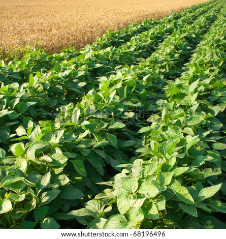 Soybean Field Rows - stock photo