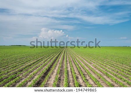 Soybean Field Rows in spring
