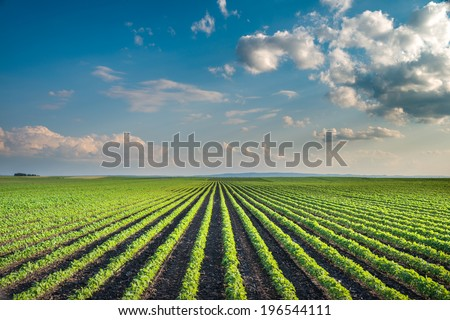 Soybean Field Rows in summer - stock photo