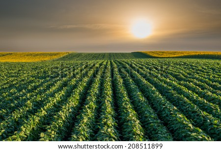Soybean Field Rows in sunset - stock photo
