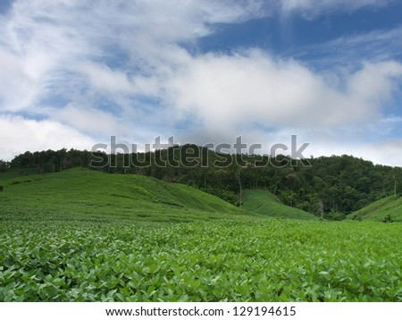 soybean field ,sky,clouds and mountain - stock photo