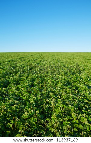 Soybean field with fresh soya with copy-space - stock photo