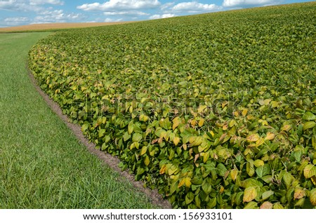 Soybean Fields in September:  Soybean leaves display fall colors and turn completely brown before harvest, as those shown in a distant field.  - stock photo