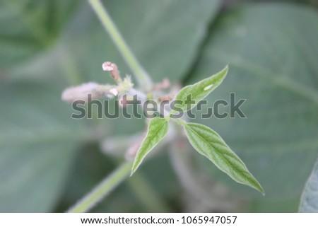 soybean flower