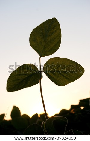 Soybean plant isolated against sky and other plants