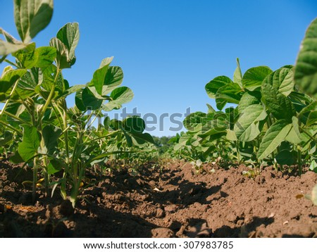 Soybean plantation rows. Worm's view  - stock photo
