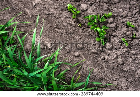 Soybean with barley. Rare photo.  - stock photo