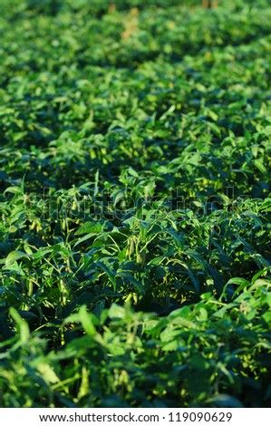 soybeans growing in a field of crops on a farm - stock photo