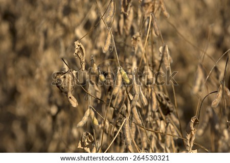 Soybeans pod macro. Harvest of soy beans - agriculture legumes plant. Soybean field - dry soyas pods. - stock photo