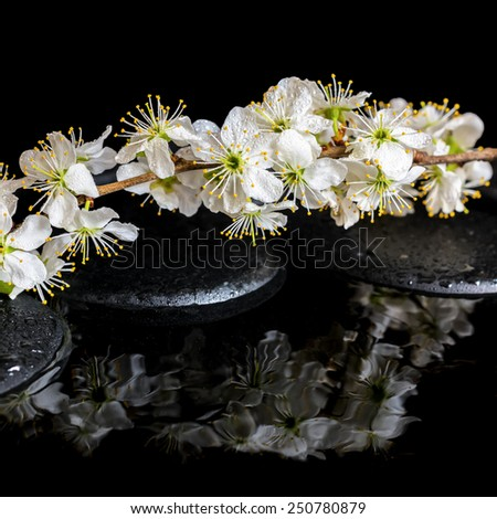 Spa background of zen stones, blooming twig of plum with reflection on water, closeup - stock photo