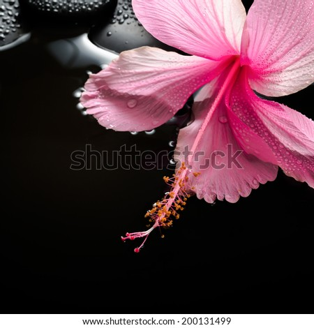 spa concept  of  blooming pink hibiscus and zen stones with drops on water, closeup