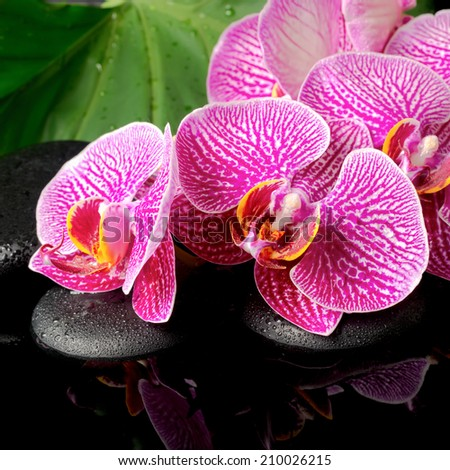 spa concept of blooming twig stripped violet orchid (phalaenopsis ), zen stones with drop on the big green leaf with reflection on water  - stock photo