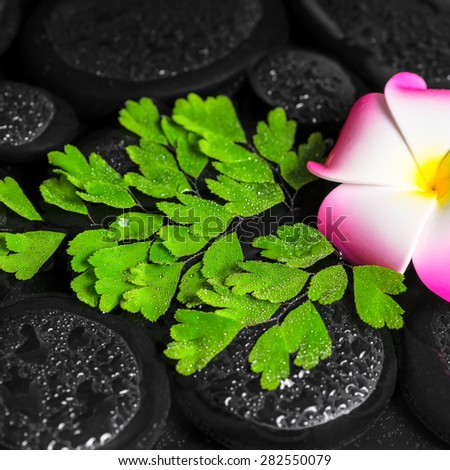 spa concept of plumeria flower, green branch Adiantum fern with drops on zen basalt stones in water, closeup - stock photo