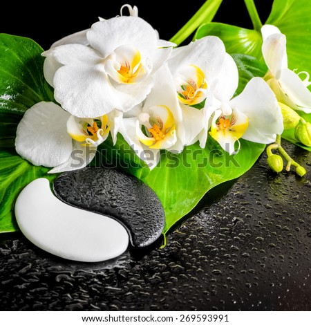 spa concept of white orchid flower, phalaenopsis, green leaf with dew and Yin-Yang of stone texture on black background, closeup - stock photo