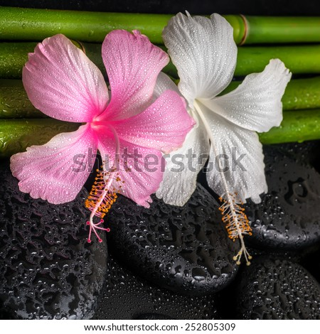 spa concept of white, pink hibiscus flowers  and natural bamboo on zen basalt stones with drops, closeup  - stock photo