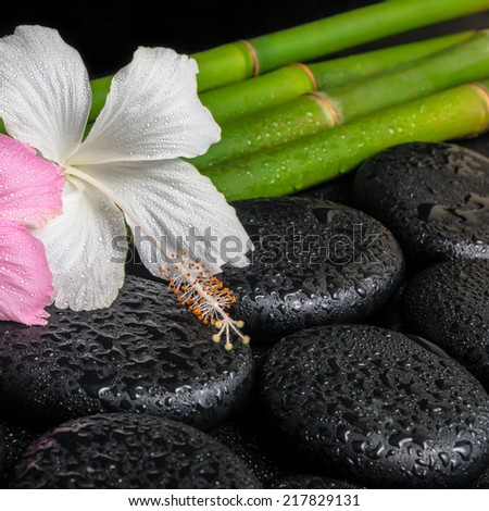 spa concept of zen basalt stones, white and pink hibiscus flower on natural bamboo with drops, closeup
