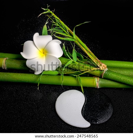 spa setting of white frangipani flower, symbol Yin Yang and natural bamboo with leaves on zen basalt stones with drops, closeup  - stock photo