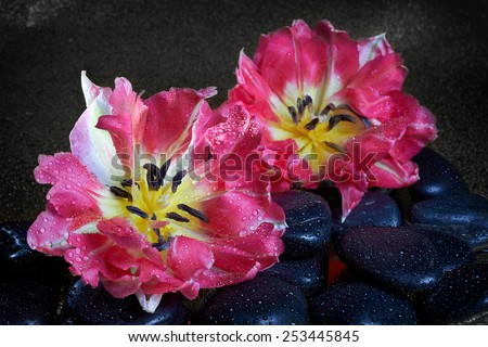 Spa stones and tulip flowers with reflection  on black - stock photo