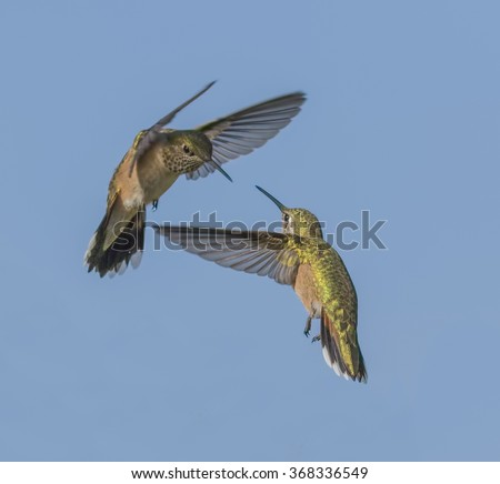 Space War - two rufous hummingbirds battle over ownership of the space around the food source. The rufous on the left challenges, defends and chases away a rufous hummingbird intruder. - stock photo