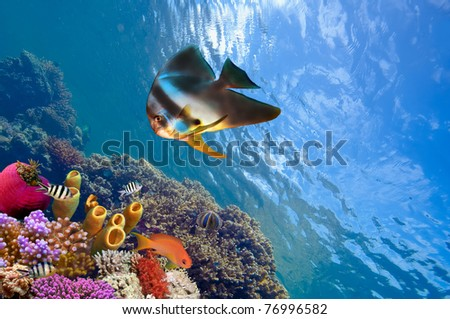 Spadefish and ocean in the Red Sea. - stock photo