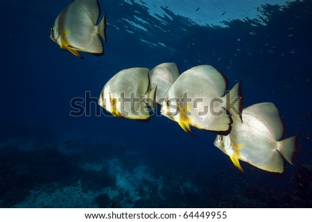 Spadefish in the Red Sea. - stock photo