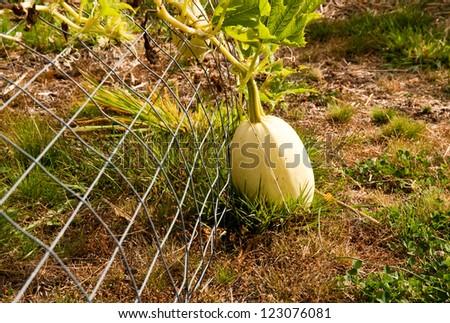 Spaghetti squash in a vegetable garden - stock photo