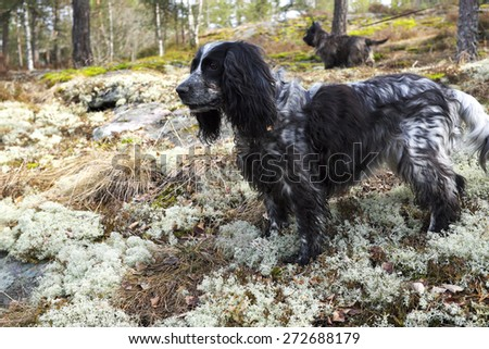 Spaniel and Cairn Terrier in spring forest on the hunt - stock photo